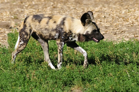 lycaon pictus: Closeup of African Wild Dog (Lycaon pictus) walking on grass and view of profile.
