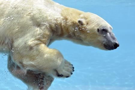 Closeup polar bear (Ursus maritimus) view of profile and swimming underwater photo