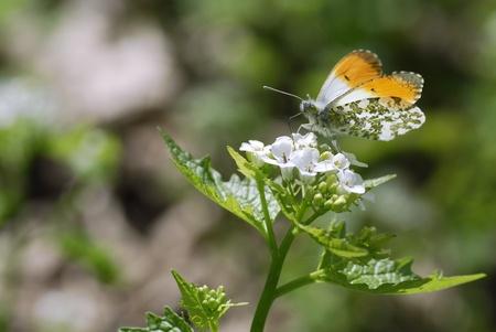 tip of the leaf: Male orange tip butterfly (Anthocharis cardamines) feeding on white garlic mustard flower (Alliaria petiolata)