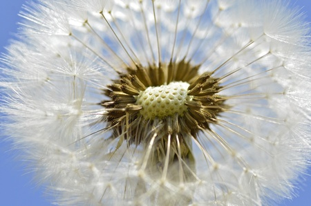 pappus: Macro of an inside cut of dandelion (Taraxacum) and seeds on blue sky background