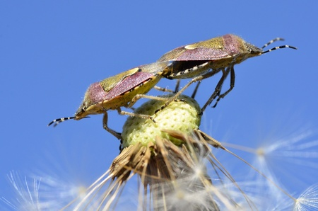 Mating of shield bugs (Dolycoris baccarum) on dandelion seed on the blue sky background photo
