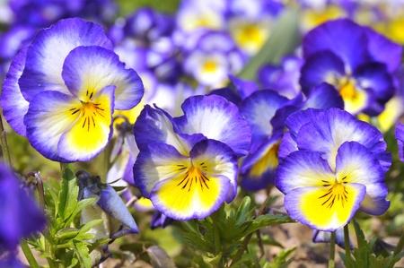 violas: Background of blue and yellow violas flowers Stock Photo