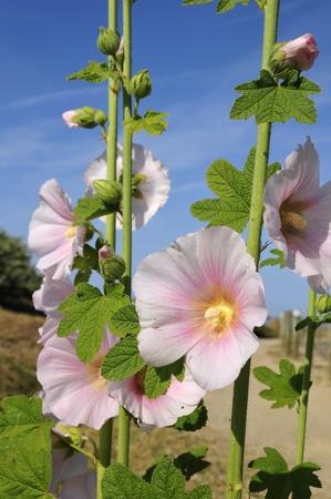alcea: Primer rosa flores malvas (Alcea rosea) Foto de archivo