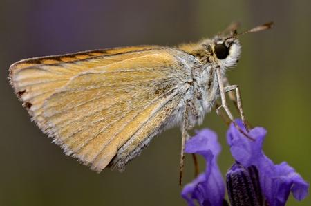 skipper: Macro of profile skipper butterfly on blue flower