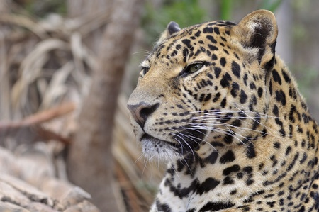 Portrait of leopard (Panthera pardus) photo