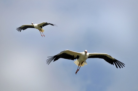 Two white storks (Ciconia ciconia) in fly Stock Photo - 12009641