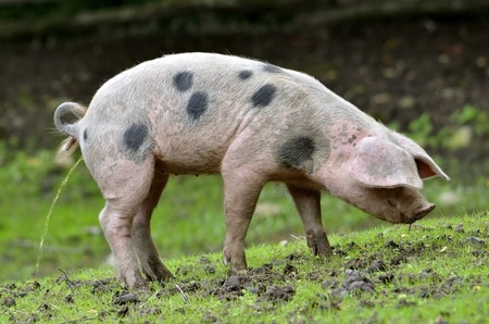 piddle: Sow of Bayeux (Sus scrofa) seen of profile urinating on the grass