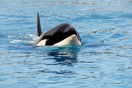 Closeup of front head of a killer whale (Orcinus orca) swimming in blue water photo
