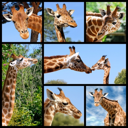 Seven photos mosaic of giraffes (Camelopardalis) photo