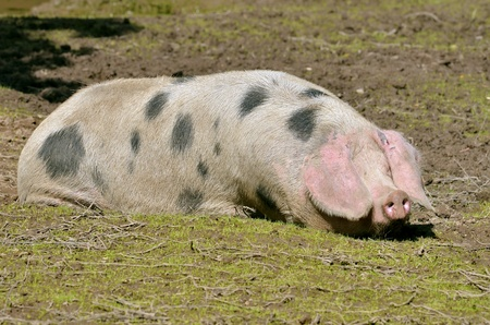 Sow of Bayeux (Sus scrofa), French race, lying on ground photo