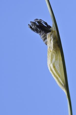 zygaena: Chrysalis of butterfly Five-spot Burnet (Zygaena trifolii) on stem on blue sky background