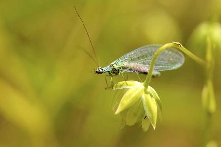 Macro of lacewings (Chrysopa) on grass photo