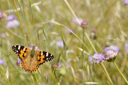 vanessa: Closeup painted lady butterfly (Vanessa cardui) feeding on scabiosa flower