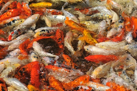 cyprinidae: Many koi carp  Cyprinus  multicolor in surface of the water