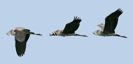 photomontage: Photomontage of three grey herons (Ardea cinerea) in flight with a fish in the beak on the blue background