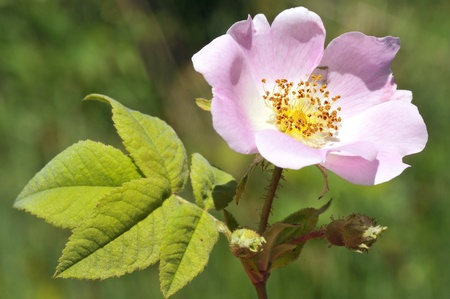 Macro Dog rose (Rosa canina) flower