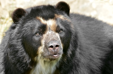 Front portrait of  andean bear (Tremarctos ornatus), also known as the spectacled bear Imagens