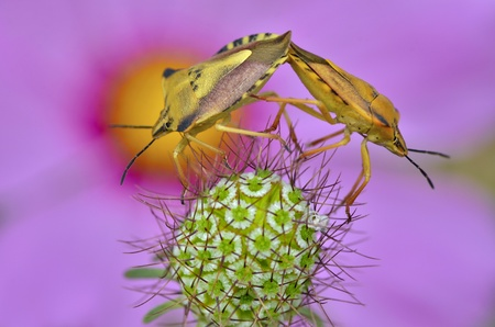 coitus: Mating of shield bugs on thorny plant Stock Photo