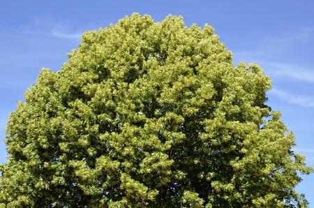 tilia: Closeup to the foliage of a tilia tree on blue sky background Stock Photo