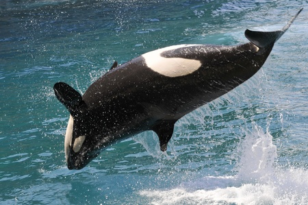 killer whale (Orcinus orca) jumping out of  water photo
