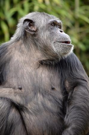 troglodytes: Closeup of chimpanzee  Pan troglodytes  Stock Photo