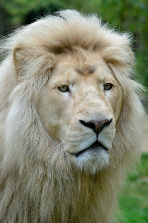felid: Portrait of rare white lion  Panthera leo  Stock Photo