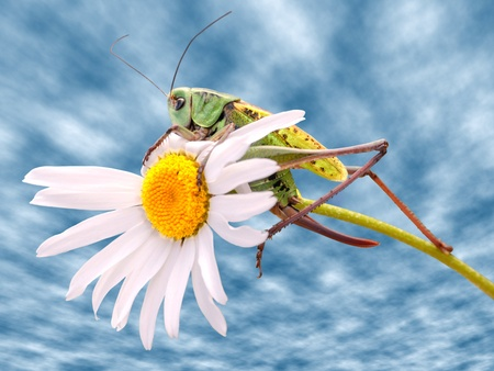 Closeup of grasshopper on daisy flower on cloudy blue sky background photo