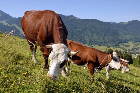 Closeup of brown and white cows grazing in the high mountain pasture near of village of Bernex in the Haute-Savoie department in the Rh�ne-Alpes region in south-eastern France photo
