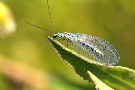 chrysopidae: Macro of profile lacewings (Chrysopa) on leaf Stock Photo