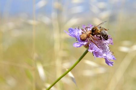 flower crab spider: Brown crab spider (Misumena vatia) eating honey bee on scabiosa flower