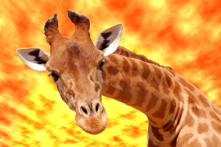 Portrait of front of Giraffe  Giraffa camelopardalis  under a glowing sky photo