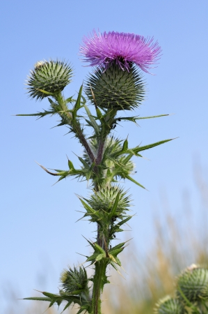 thistle: Closeup spear thistle (Cirsium vulgare), also called bull thistle,plumed thistle,scotch thistle,roadside thistle, in the dunes of the peninsula of Quiberon in Brittany in France