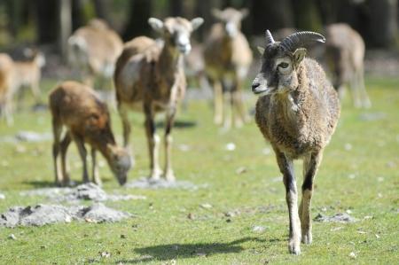 mouflon: Young male mouflon of Corsican  Ovis aries orientalis  walking front