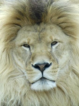 lion face: Front portrait of lion  Panthera leo
