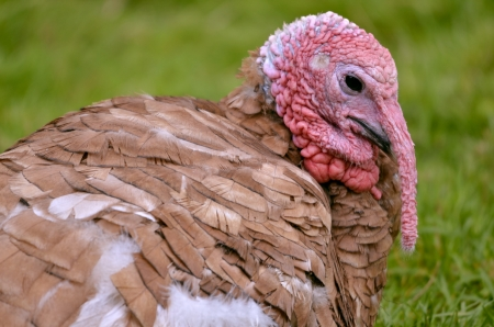 caruncle: Portrait of female turkey viewed of profile
