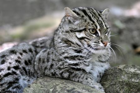 prionailurus: Portrait of fishing cat (Prionailurus viverrinus) lying down Stock Photo