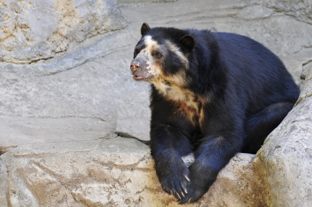 spectacled: Closeup spectacled bear (Tremarctos ornatus) on rocks
