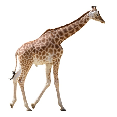 Giraffe (Giraffa camelopardalis) walking isolated on white background photo