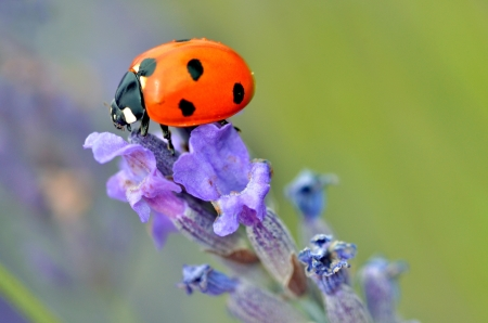 Macro of seven spot ladybug (Coccinella septempunctata) on lavender flower photo