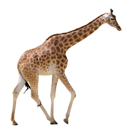 Giraffe  Giraffa camelopardalis  walking isolated on white background photo