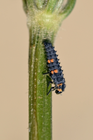 coccinella: Macro of ladybug larva  Coccinella  on stem on brown background