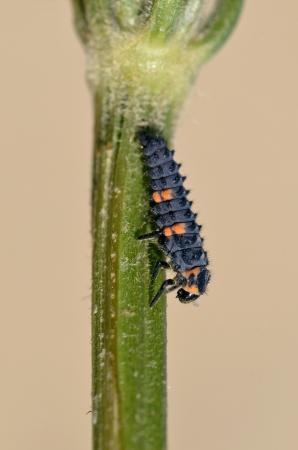 coccinella: Macro of ladybug larva  Coccinella  on stem on brown background