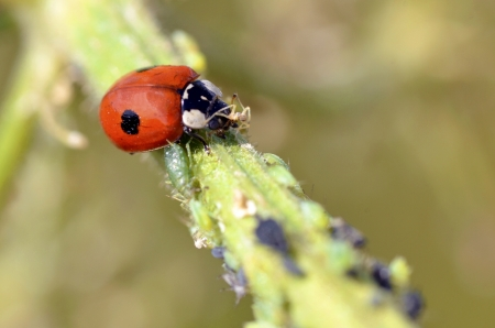 Macro of ladybug  Adalia bipunctata  eating aphids on stem Stock Photo