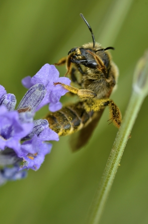 Macro of bee gathering on blue lavender flower photo