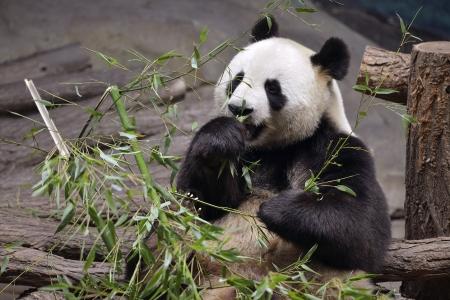 Giant panda  Ailuropoda melanoleuca  front view eating bamboo photo