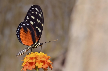 longwing: Macro of  Tiger Longwing  Heliconius hecale  butterfly feeding on flower  Lantana camara  Stock Photo