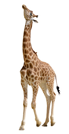 Giraffe  Giraffa camelopardalis  standing looking up, isolated on white background photo