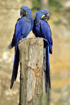 Two Hyacinth macaws  Anodorhynchus hyacinthinus  on a perch