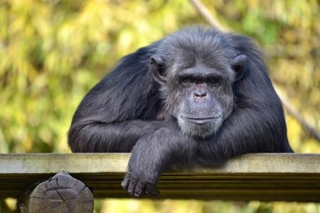 troglodytes: Portrait of chimpanzee  Pan troglodytes  lying on a wood plank Stock Photo