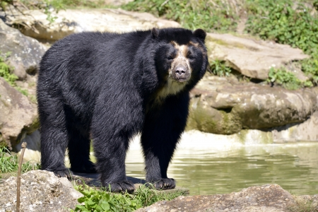 Oso andino Tremarctos ornatus de pie cerca de la charca, también conocido como el oso de anteojos Foto de archivo - 24442478